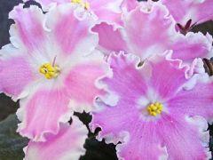 ЯН-Улыбка - Куст цветущий