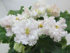 Lil Glimpse o' Spring (Лил Глимпс О Сприн)