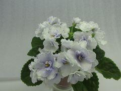 Blue Victoria (Блю Виктория)