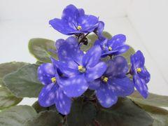 Ness' Blueberry Puff (Несс Блюбэри Паф)