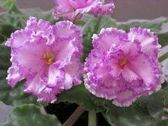 ПТ-Анжелика - куст цветет