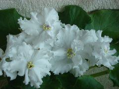 ЛЕ-Жизель - цветущий куст