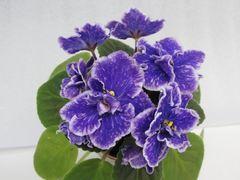 Perfect Harmony (Пёфект Хамони) - цветущая