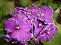 Rodeo Roper (Родэо Ропа) - Куст цветущий