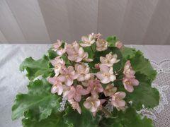Emerald Pink (Эмерэлд Пинк) -цветущий куст