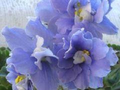 Kingwood Blue (Кинвуд Блю) - цветет