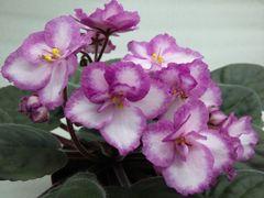 Lady Charm (Лэйди Чам) -  цветущий куст