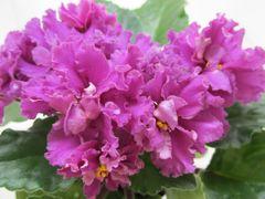 ЛиК-Господарочка - цветущий куст
