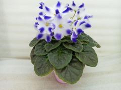 Marina (Мерина) -  цветущий куст