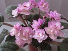 Ness' Satin Rose (Несс Сатин Роуз) - цветущий куст