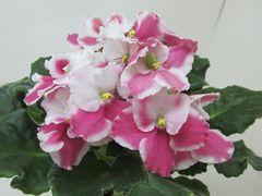Optimara Anika (Оптимара Аника) -  цветущий куст