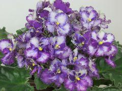 Optimara EverPrecious (Оптимара Эвапрешез) - цветущий куст