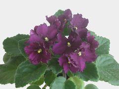 Optimara Little Maya (Оптимара Литтл Майя) - цветущий куст