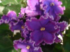 Special Treat (Спешл Трит) -цветущий куст