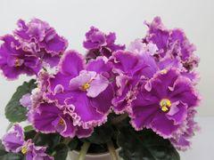 Victorian Velvet (Викториен Вэлвэт) -  цветущий куст
