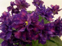 АЕ-Стрелец -цветущий  куст