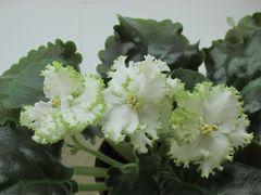 Гриня - цветущий куст