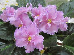 Маркиза - цветущий куст