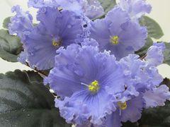 ЕК-Афалино -  цветущий куст