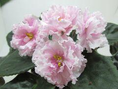 ЕК-Бал Принцесс -куст цветущий