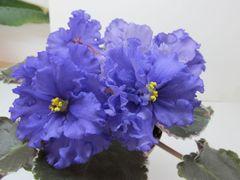 ЕК-Голубой Алмаз - цветущий куст