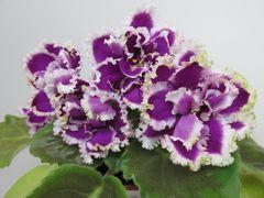 ЕК-Малахитовая Орхидея -  детка