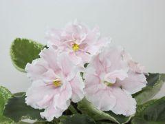 К-Сударушка - цветущий куст