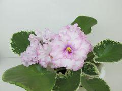 Pink Chablis (Пинк Шабли)