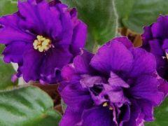 Изабелла -  цветущий куст