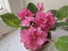 Зивай - цветущий куст