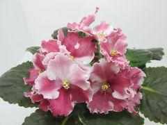 СМ-Рыжик (Сеянец Морева) -  цветущий куст