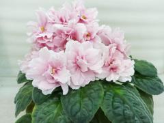 РС-Кузина -  цветущий куст