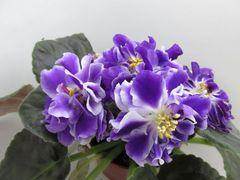 РС-Цезарь - цветущий куст