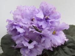 РС-Орион - зацветающий куст