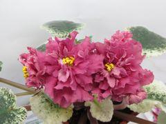 СМ-Лезгинка (Сеянец Морева) - цветущий куст