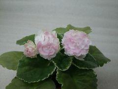 ЛЕ-Английская Роза