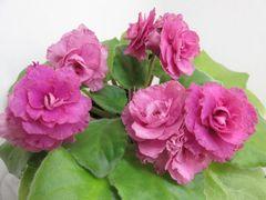 АВ-Любовь (Сеянец) - цветущий куст