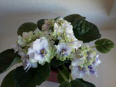 АВ-Фисташковое Пралине - молодой цветущий куст