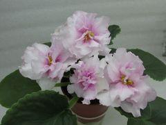 ЕК-Жемчужный Зефир - цветущий куст
