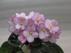 Raspberry Glitz (Расбэри Глитц) - куст
