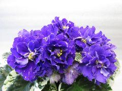 РС-Фигаро - цветущий куст