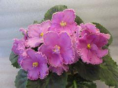 ЛЕ-Розовый Балет - цветущий куст