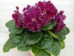 АВ-Сердце Матери - цветущий куст