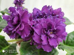 РС-Черника - цветущий куст