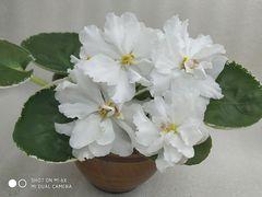 РС-Цветок Лотоса - детка