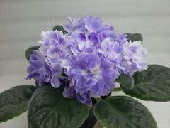 РС-Изморозь - цветущий куст