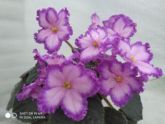 РС-Мюзикл - цветущий куст