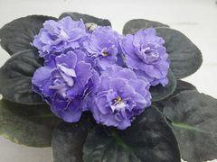 ЕК-Розы для Русалки -  цветущий куст