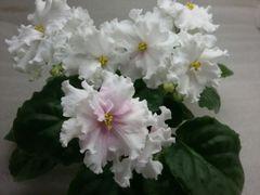 РМ-Анна Герман (Сеянец) - цветущий куст