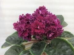 АВ-Богема -  цветущий куст